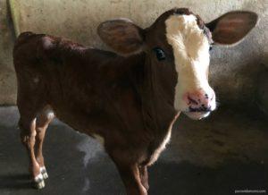 Cows at Rancho Margot Costa Rica.