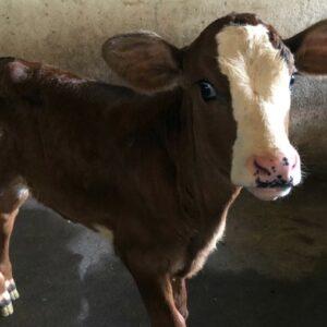 Cows at Rancho Margot Costa Rica