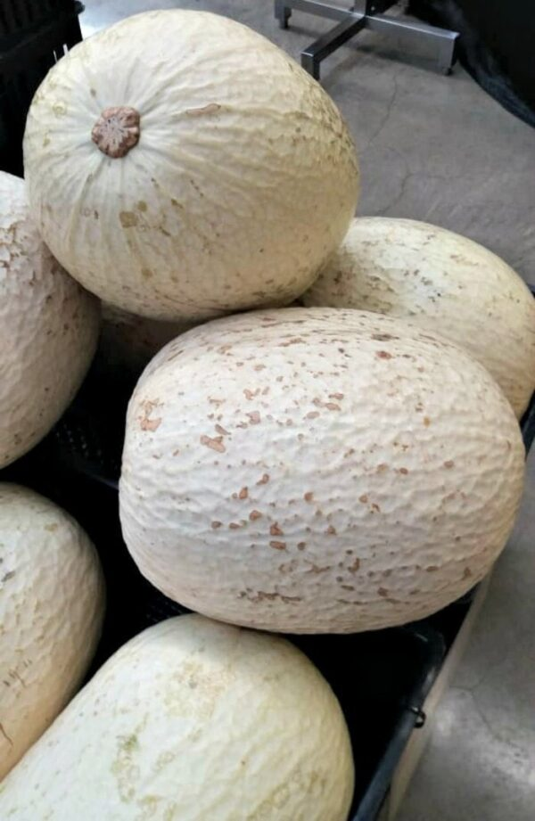 Pile of chiverre squash from Costa Rica.