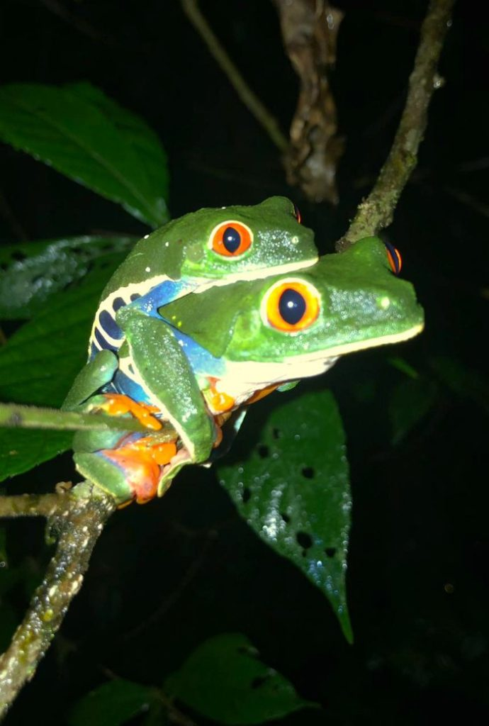 Mating Red Eyed Tree Frogs At Tapir Valley Costa Rica.