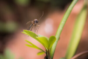 costa rican forest mosquito close up.