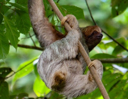 costa rican sloth hanging upside down from tree branch.